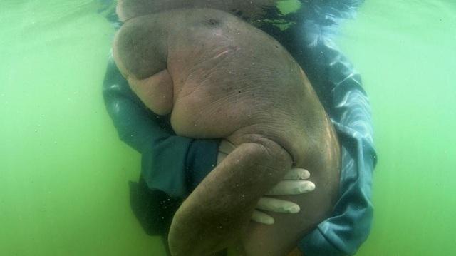 胃内塑料致感染恶化 萌萌哒的泰国儒艮宝宝离世