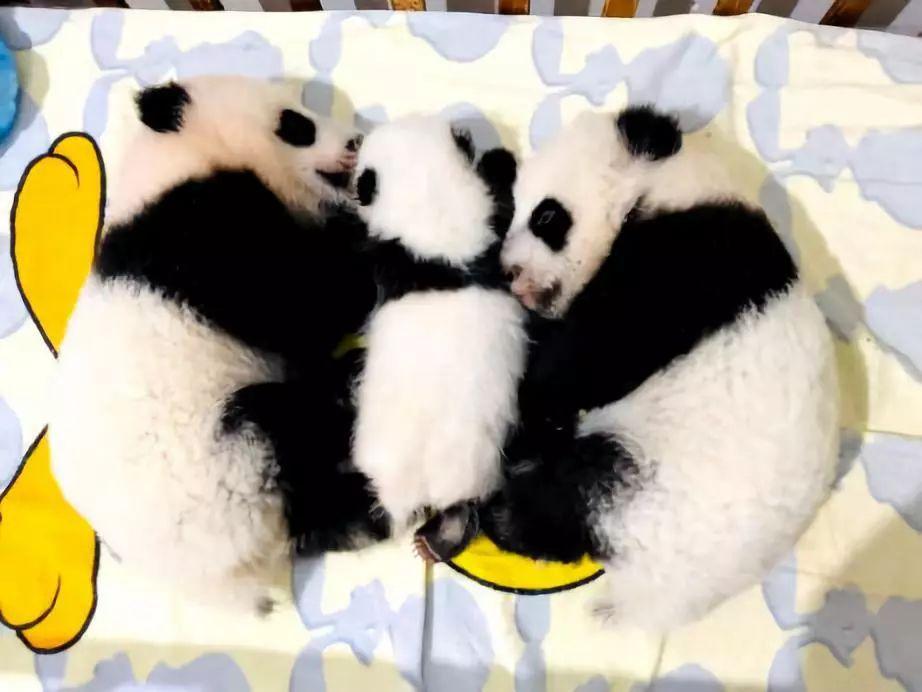 国宝请你来起名字啦!新生秦岭大熊猫宝宝全国征名
