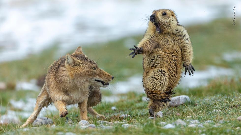 土拨鼠被吓到照片获奖 摄影师:土拨鼠最后被叼走
