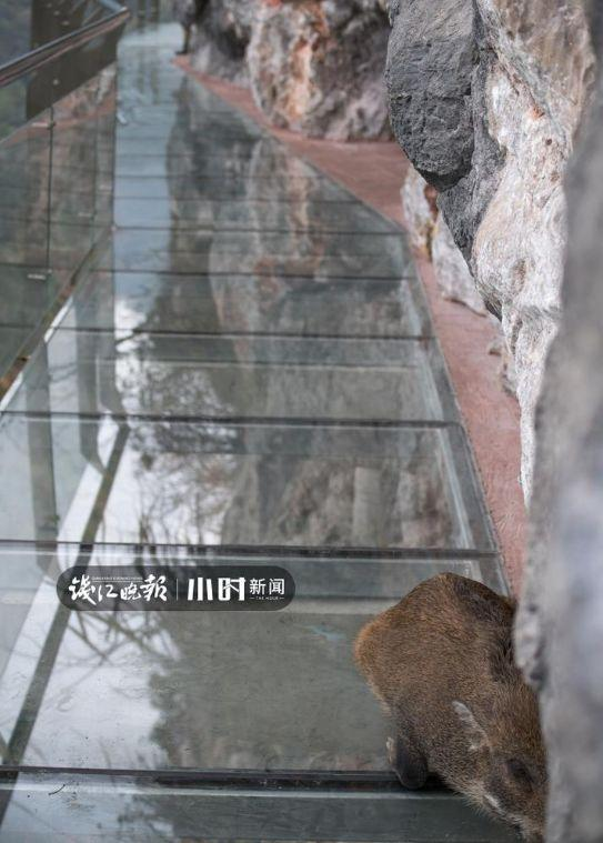 哈哈哈哈哈!杭州一野猪闯进网红玻璃栈道后秒怂:你行你上
