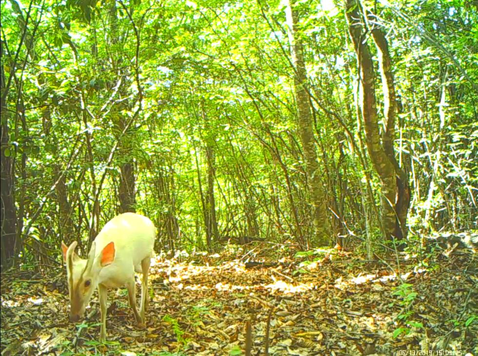 <b>湖北神农架首次拍到罕见白化小麂,此前曾发现多种白化动物</b>