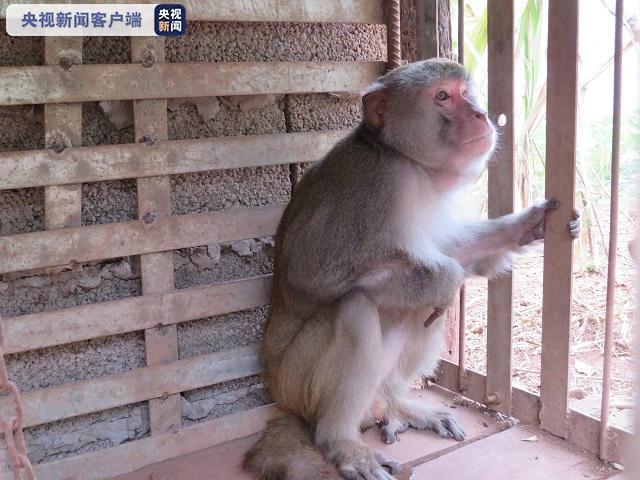 一猕猴被云南村民非法猎捕并驯养8年终获救