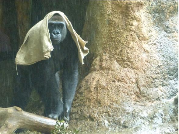 """母猩猩""""坨坨""""(图源:日媒转引东京动物园协会)"""