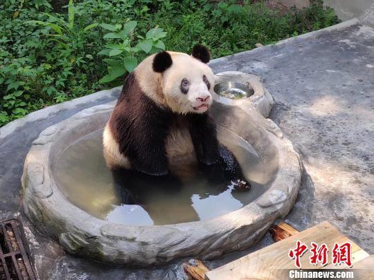 """图为""""新星""""在水池了泡澡。 重庆动物园供图 摄"""
