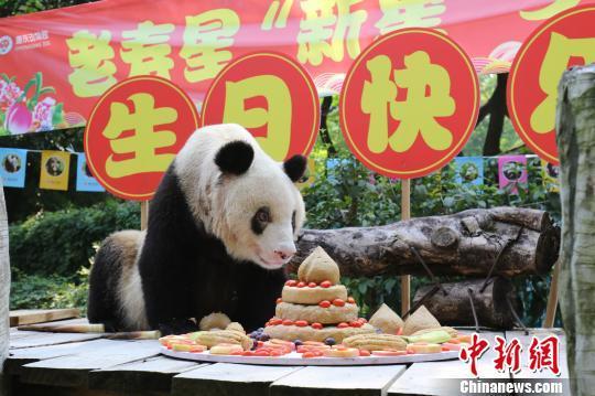 """图为""""新星""""准备享受美味的""""生日蛋糕""""。 重庆动物园供图 摄"""