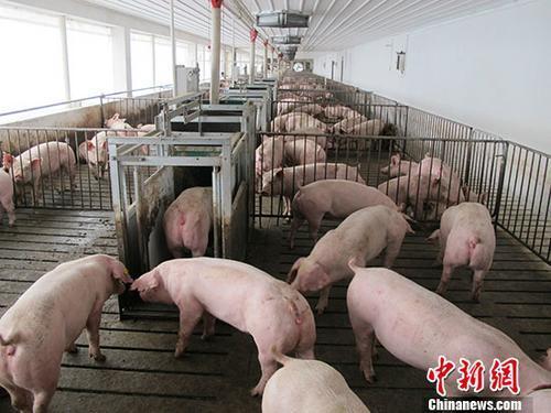日本豬瘟疫情:13萬頭豬被撲殺 接種疫苗要求強烈