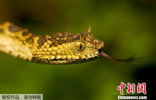 资料图片:非洲坦桑尼亚的丛林中一种体色特殊的新品种毒蛇。