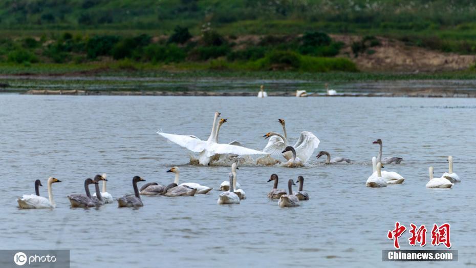 湖阔天高候鸟飞 近千只小天鹅落户南洞庭湖
