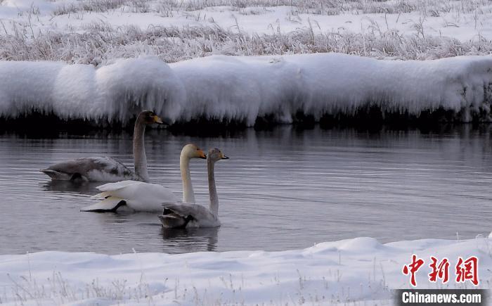 寒冬腊月 新疆巴音布鲁克草原天鹅与白雪相映成趣