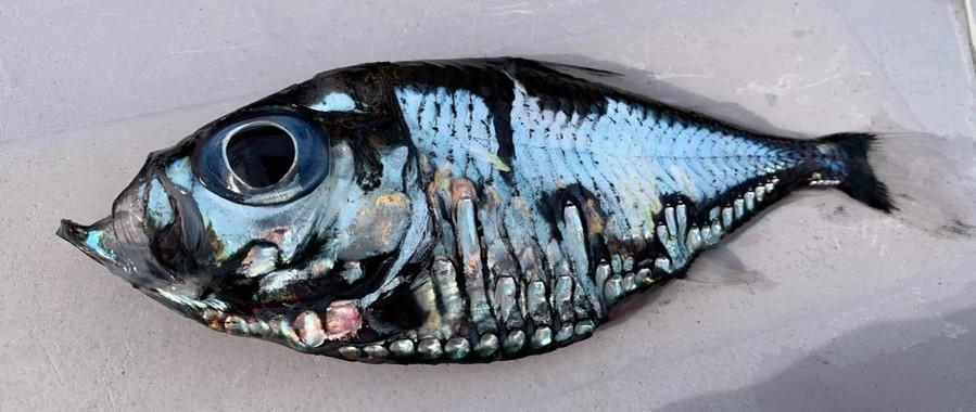 日本渔民捕获谜之深海鱼:可怕又美丽 越看越入迷